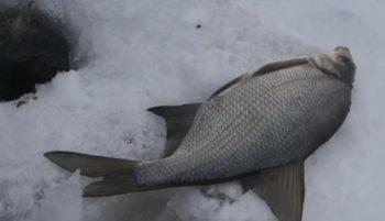 Ловля леща зимой на мормышку