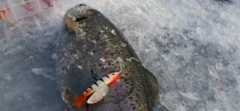 Ловля форели зимой