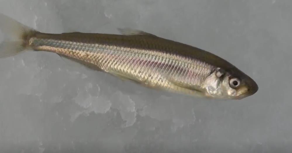 Рыбалка косынками