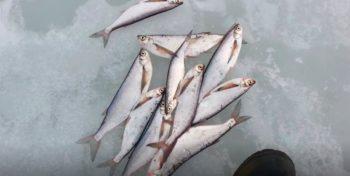 Зимняя рыбалка на чехонь или как поймать чехонь зимой ?