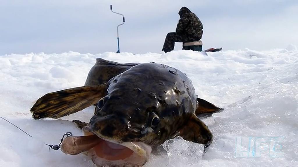 Ловля налима зимой - особенности и способы ловли