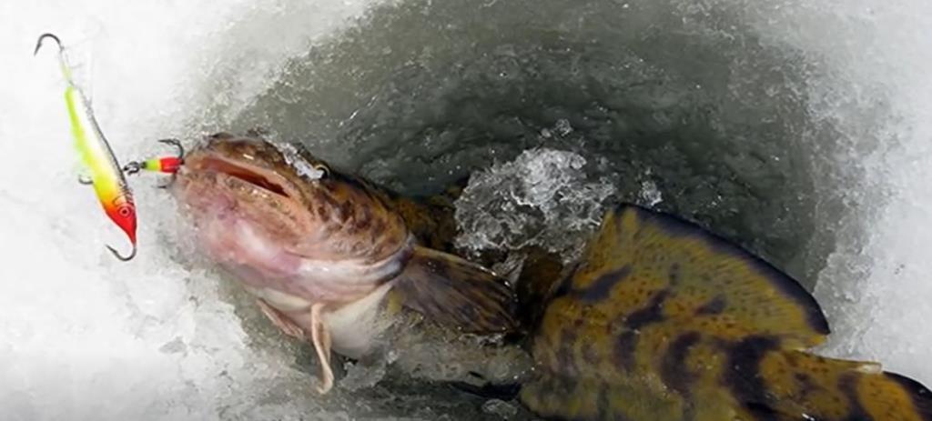 Рыбалка на налима зимой с соблюдением закона